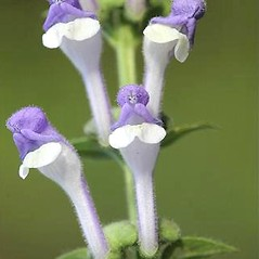 Flowers: Scutellaria altissima. ~ By David Fenwick. ~ Copyright © 2018 David Fenwick. ~ davidfenwicksnr[at]googlemail.com ~ www.aphotoflora.com