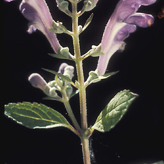 Flowers: Scutellaria integrifolia. ~ By Albert Bussewitz. ~ Copyright © 2018 New England Wild Flower Society. ~ Image Request, images[at]newenglandwild.org