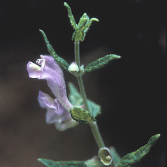 Flowers: Scutellaria integrifolia. ~ By Adelaide Pratt. ~ Copyright © 2020 New England Wild Flower Society. ~ Image Request, images[at]newenglandwild.org