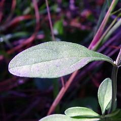 Leaves: Scutellaria integrifolia. ~ By Arthur Haines. ~ Copyright © 2020. ~ arthurhaines[at]wildblue.net