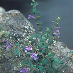 Plant form: Scutellaria lateriflora. ~ By George Lienau. ~ Copyright © 2019 New England Wild Flower Society. ~ Image Request, images[at]newenglandwild.org