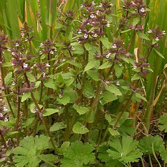 Plant form: Stachys arvensis. ~ By Ben Legler. ~ Copyright © 2018 Ben Legler. ~ mountainmarmot[at]hotmail.com ~ U. of Washington - WTU - Herbarium - biology.burke.washington.edu/herbarium/imagecollection.php