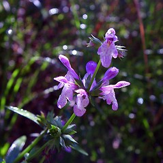 Flowers: Stachys hyssopifolia. ~ By Arthur Haines. ~ Copyright © 2018. ~ arthurhaines[at]wildblue.net