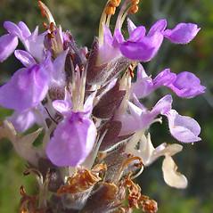 Flowers: Teucrium canadense. ~ By Glen Mittelhauser. ~ Copyright © 2019 Glen Mittelhauser. ~ www.mainenaturalhistory.org