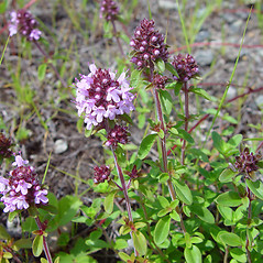 Plant form: Thymus pulegioides. ~ By Arthur Haines. ~ Copyright © 2019. ~ arthurhaines[at]wildblue.net