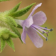 Flowers: Trichostema brachiatum. ~ By Darel Hess. ~ Copyright © 2019 CC-BY-NC-SA. ~  ~ Bioimages - www.cas.vanderbilt.edu/bioimages/frame.htm