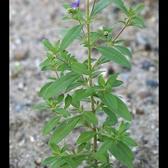 Leaves: Trichostema dichotomum. ~ By Arieh Tal. ~ Copyright © 2019 Arieh Tal. ~ http://botphoto.com/ ~ Arieh Tal - botphoto.com