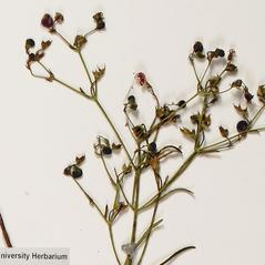 Fruits: Trichostema setaceum. ~ By Troy University Herbarium. ~ Copyright © 2018. ~ Brian Keener, bkeener[at]uwa.edu ~ Troy U. Herbarium