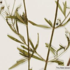 Leaves: Trichostema setaceum. ~ By Troy University Herbarium. ~ Copyright © 2018. ~ Brian Keener, bkeener[at]uwa.edu ~ Troy U. Herbarium