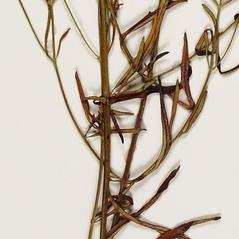 Stems: Trichostema setaceum. ~ By Troy University Herbarium. ~ Copyright © 2018. ~ Brian Keener, bkeener[at]uwa.edu ~ Troy U. Herbarium