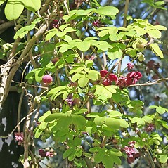 Plant form: Akebia quinata. ~ By Charles Brun. ~ Copyright © 2019. ~ brunc[at]wsu.edu ~ Pacific Northwest Plants - www.pnwplants.wsu.edu/