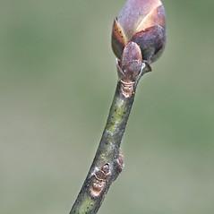 Winter buds: Sassafras albidum. ~ By Arieh Tal. ~ Copyright © 2020 Arieh Tal. ~ http://botphoto.com/ ~ Arieh Tal - botphoto.com