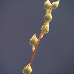 Fruits: Utricularia cornuta. ~ By David Stone. ~ Copyright © 2020 New England Wild Flower Society. ~ Image Request, images[at]newenglandwild.org