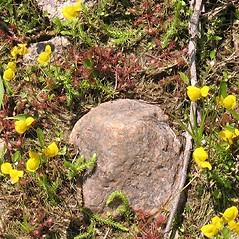Plant form: Utricularia cornuta. ~ By Marilee Lovit. ~ Copyright © 2018 Marilee Lovit. ~ lovitm[at]gmail.com
