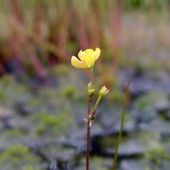 Flowers and fruits: Utricularia geminiscapa. ~ By Arthur Haines. ~ Copyright © 2018. ~ arthurhaines[at]wildblue.net