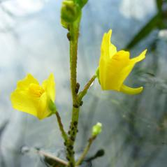 Inflorescences: Utricularia geminiscapa. ~ By Dawn Dentzer. ~ Copyright © 2020. ~ dawndentzer[at]gmail.com