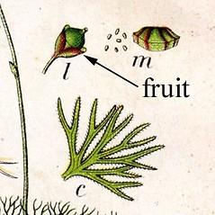 Fruits: Utricularia intermedia. ~ By Jacob Sturm. ~  Public Domain. ~  ~ commons.wikimedia.org/