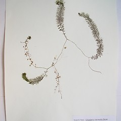 Plant form: Utricularia intermedia. ~ By Donald Cameron. ~ Copyright © 2018 Donald Cameron. ~ No permission needed for non-commercial uses, with proper credit