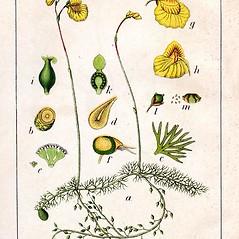 Plant form: Utricularia intermedia. ~ By Jacob Sturm. ~  Public Domain. ~  ~ commons.wikimedia.org/