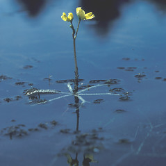Plant form: Utricularia radiata. ~ By David Stone. ~ Copyright © 2018 New England Wild Flower Society. ~ Image Request, images[at]newenglandwild.org