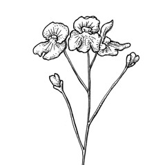 Inflorescences: Utricularia radiata. ~ By C. Barre Hellquist. ~ Copyright © 2018 C. Barre Hellquist. ~ C.Barre.Hellquist[at]mcla.edu ~ U. of New Hampshire