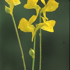 Inflorescences: Utricularia cornuta. ~ By Albert Bussewitz. ~ Copyright © 2020 New England Wild Flower Society. ~ Image Request, images[at]newenglandwild.org