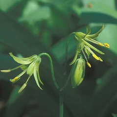 Inflorescences: Clintonia borealis. ~ By Hal Horwitz. ~ Copyright © 2019 New England Wild Flower Society. ~ Image Request, images[at]newenglandwild.org