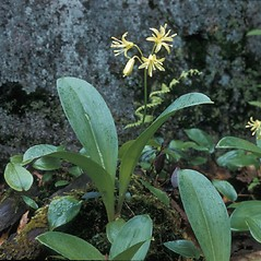 Leaves: Clintonia borealis. ~ By Frank Bramley. ~ Copyright © 2019 New England Wild Flower Society. ~ Image Request, images[at]newenglandwild.org