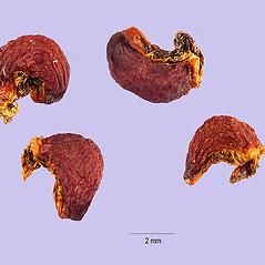 Fruits: Erythronium americanum. ~ By Tracey Slotta. ~  Public Domain. ~   ~ USDA-NRCS Plants Database - plants.usda.gov/java/