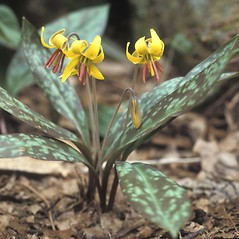 Inflorescences: Erythronium americanum. ~ By Carol Fyler. ~ Copyright © 2018 New England Wild Flower Society. ~ Image Request, images[at]newenglandwild.org