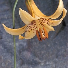 Flowers: Lilium canadense. ~ By Adelaide Pratt. ~ Copyright © 2017 New England Wild Flower Society. ~ Image Request, images[at]newenglandwild.org