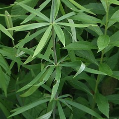 Leaves: Lilium philadelphicum. ~ By Arieh Tal. ~ Copyright © 2020 Arieh Tal. ~ http://botphoto.com/ ~ Arieh Tal - botphoto.com