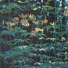 Plant form: Lilium superbum. ~ By John Lynch. ~ Copyright © 2018 New England Wild Flower Society. ~ Image Request, images[at]newenglandwild.org