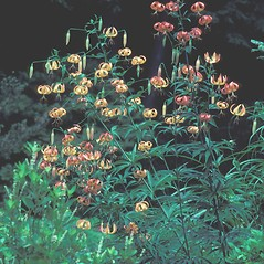 Plant form: Lilium superbum. ~ By William Larkin. ~ Copyright © 2018 New England Wild Flower Society. ~ Image Request, images[at]newenglandwild.org