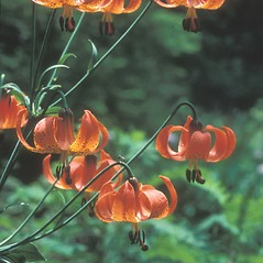 Inflorescences: Lilium superbum. ~ By Dorothy Long. ~ Copyright © 2018 New England Wild Flower Society. ~ Image Request, images[at]newenglandwild.org