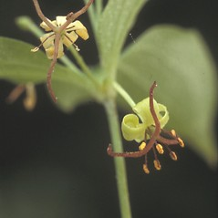 Flowers: Medeola virginiana. ~ By Albert Bussewitz. ~ Copyright © 2018 New England Wild Flower Society. ~ Image Request, images[at]newenglandwild.org
