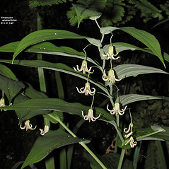 Inflorescences: Streptopus amplexifolius. ~ By Gerry Carr. ~ Copyright © 2017 Gerry Carr. ~ gdcarr[at]comcast.net ~ Oregon Flora Image Project - www.botany.hawaii.edu/faculty/carr/ofp/ofp_index.htm