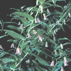 Plant form: Streptopus lanceolatus. ~ By Frank Bramley. ~ Copyright © 2020 New England Wild Flower Society. ~ Image Request, images[at]newenglandwild.org