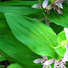 Leaves: Tricyrtis hirta. ~ By Polly Ryan-Lane. ~ Copyright © 2019 Polly Ryan-Lane, Courtesy of Smith College, Michael Marcotrigiano [mmarcot[at]smith.edu]. ~ Michael Marcotrigiano, mmarcotr[at]smith.edu ~ The Botanic Garden of Smith College - www.smith.edu/garden/home.html