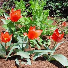 Plant form: Tulipa gesneriana. ~ By Arthur Haines. ~ Copyright © 2017. ~ arthurhaines[at]wildblue.net