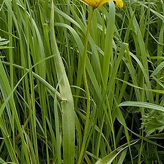 Plant form: Tulipa sylvestris. ~ By John Crellin. ~ Copyright © 2019 © J.R. Crellin. ~ Floralimages www.floralimages.co.uk ~ Floral Images - www.floralimages.co.uk