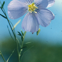 Flowers: Linum usitatissimum. ~ By Albert Bussewitz. ~ Copyright © 2019 New England Wild Flower Society. ~ Image Request, images[at]newenglandwild.org