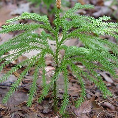 Branches: Dendrolycopodium dendroideum. ~ By Arthur Haines. ~ Copyright © 2018. ~ arthurhaines[at]wildblue.net