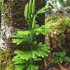 Plant form: Dendrolycopodium dendroideum. ~ By Donna Kausen. ~ Copyright © 2019 Donna Kausen. ~ 33 Bears Den, Addison, ME 04606