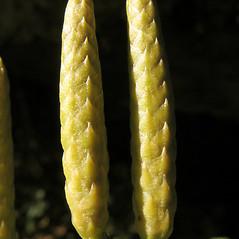 Spore cones: Dendrolycopodium dendroideum. ~ By Marilee Lovit. ~ Copyright © 2020 Marilee Lovit. ~ lovitm[at]gmail.com