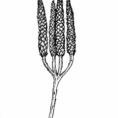 Spore cones: Diphasiastrum digitatum. ~ By Elizabeth Farnsworth. ~ Copyright © 2017 New England Wild Flower Society. ~ Image Request, images[at]newenglandwild.org