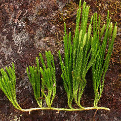 Branches: Diphasiastrum sitchense. ~ By Ben Legler. ~ Copyright © 2018 Ben Legler. ~ mountainmarmot[at]hotmail.com ~ U. of Washington - WTU - Herbarium - biology.burke.washington.edu/herbarium/imagecollection.php