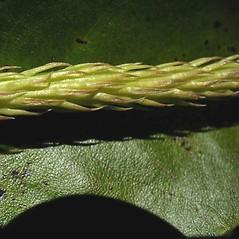 Vegetative leaves: Lycopodiella appressa. ~ By Robbin Moran. ~ Copyright © 2018 Robbin Moran. ~ rmoran[at]nybg.org ~ Plant Systematics - www.plantsystematics.org/