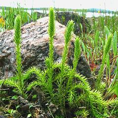 Plant form: Lycopodiella inundata. ~ By Donna Kausen. ~ Copyright © 2017 Donna Kausen. ~ 33 Bears Den, Addison, ME 04606