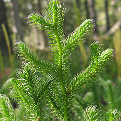 Branches: Lycopodium clavatum. ~ By Marilee Lovit. ~ Copyright © 2019 Marilee Lovit. ~ lovitm[at]gmail.com